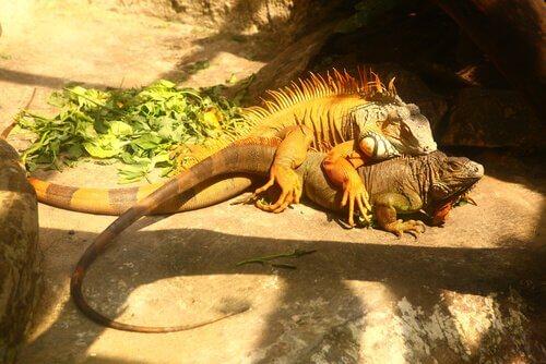 Tutto sulla riproduzione dell'iguana comune