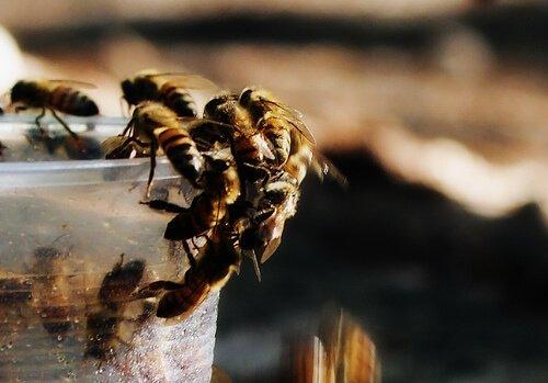 Alcune api intorno a un secchio trasparente