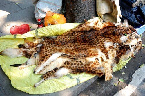 Pelli di animali catturati dai bracconieri