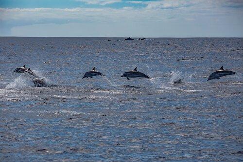 Delfini saltano in lontananza nell'oceano