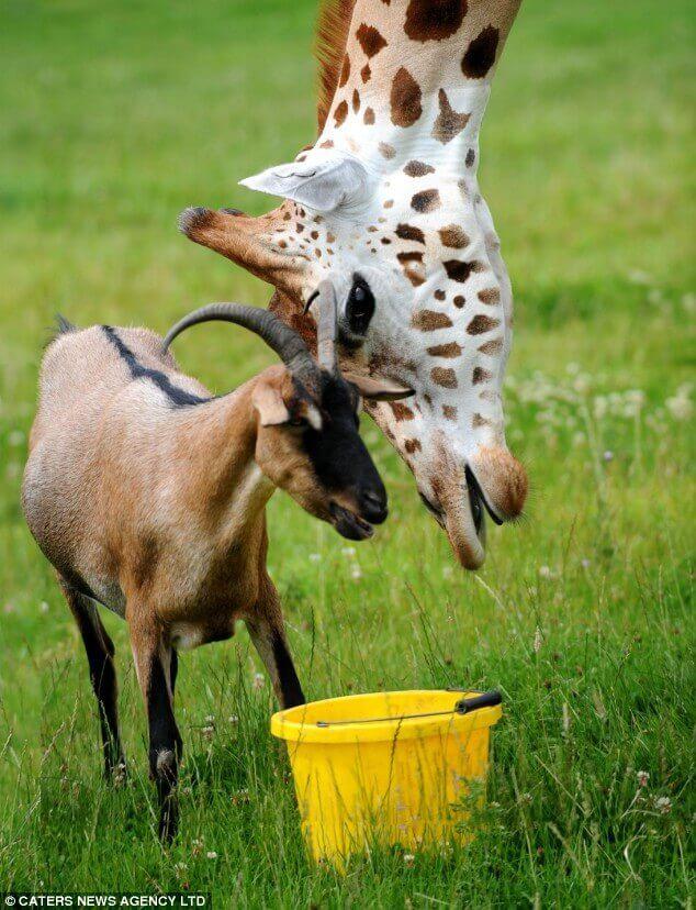 Amicizia tra una giraffa e una capra