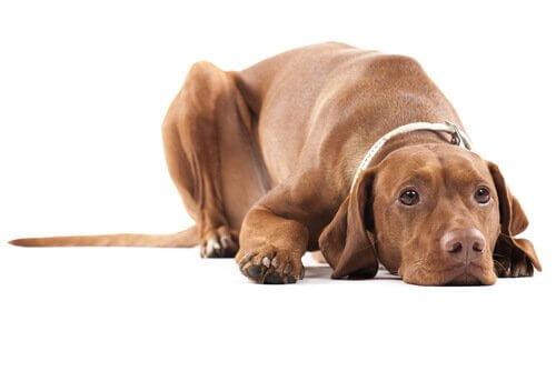 Atrofia testicolare nei cani: di cosa si tratta?
