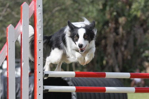 border collie salta ostacoli