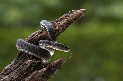 Posizione attorcigliata tipica dei serpenti