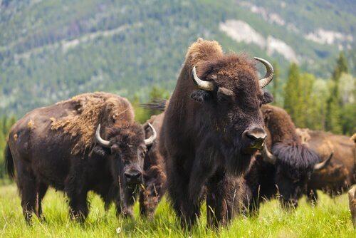 bisonti nel parco di Yellowstone