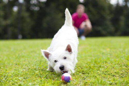 Cagnolino bianco annusa una pallina colorata