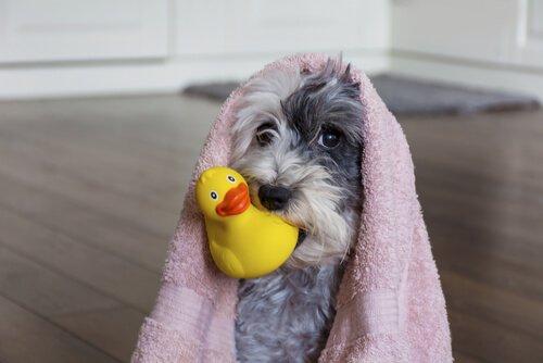 Cane con asciugamano dopo il bagno