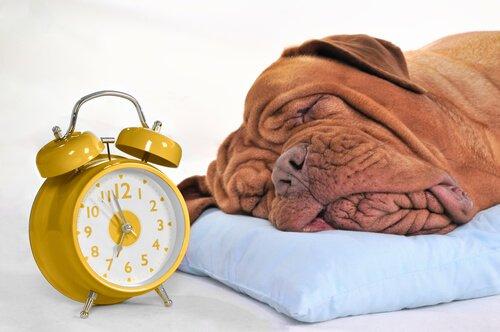 Cane con testa sul cuscino accanto a una sveglia gialla