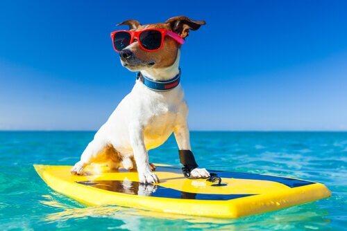 Cane galeggia su tavola da surf in mare