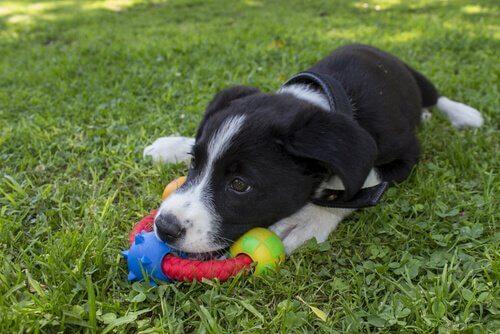 Cucciolo bianco e nero con giocattolo