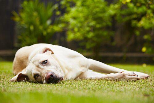 Cane sdraiato sul prato