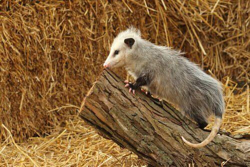 Opossum su un tronco di ramo tagliato