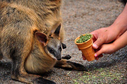 Cucciolo di canguro nel marsupio