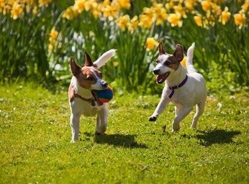 Cagnolini corrono con una pallina in un prato