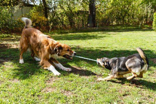 Test di intelligenza per cani che devono tirare corda