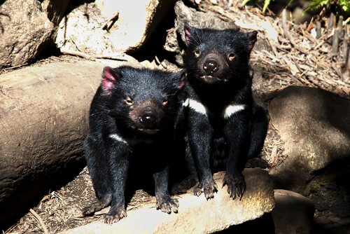 Diavoli della tasmania