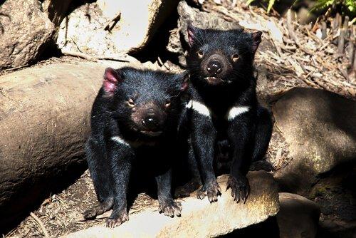 Due esemplari di Diavolo della Tasmania