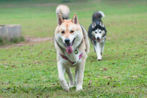 Due husky passeggiano in fila su un giardino