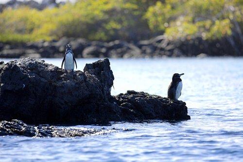 Due pinguini delle Galapagos sul punto di tuffarsi