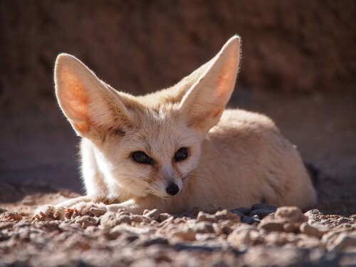 Fennec nel deserto