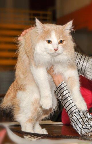 Gatto Cymric in braccio al padrone