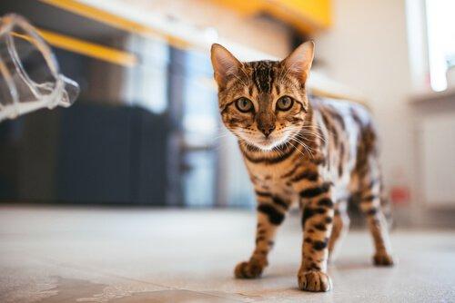 Cosa fare se il vostro gatto barcolla quando cammina?
