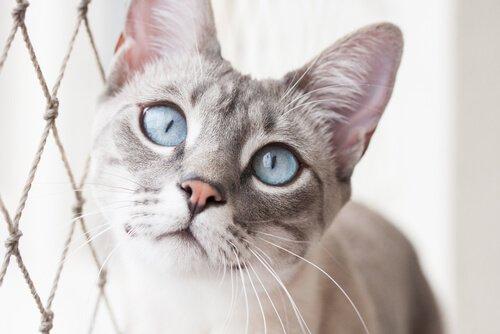 Gatto con occhi azzurri