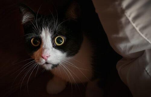 Gatto bianco e nero spia da un angolo