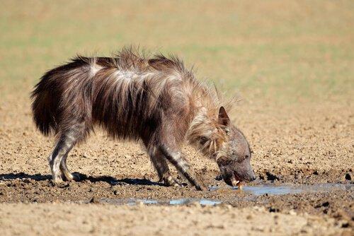 Iena bruna tra iene ancora esistenti