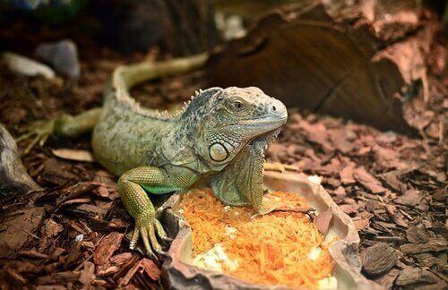 iguana con cibo