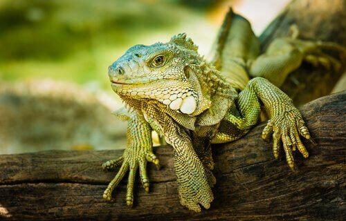 Iguana su un tronco