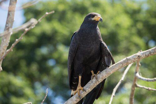 Falco nero in piedi su un ramo
