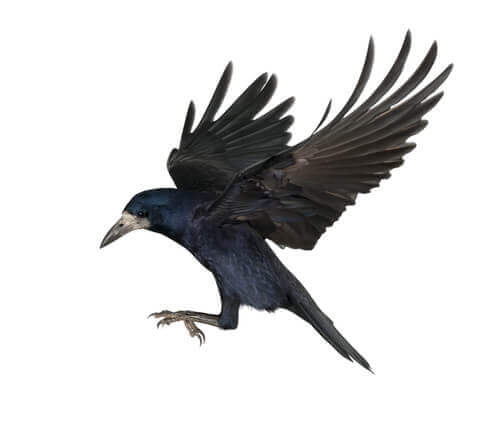 il volo di un corvo con le ali aperte