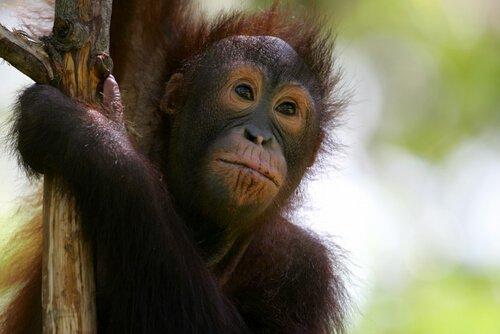 Cucciolo di orango