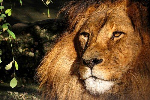 Primo piano di un leone