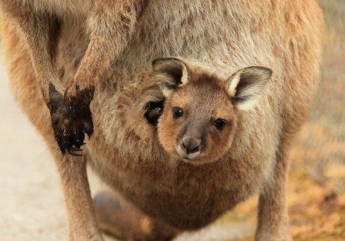 Il meraviglioso istinto materno del canguro