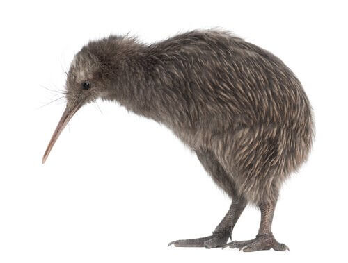 Uccello Kiwi guarda in basso