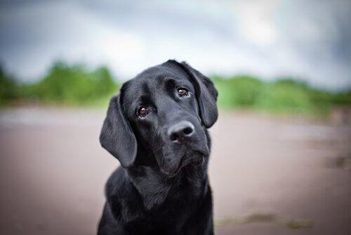 Cane nero triste