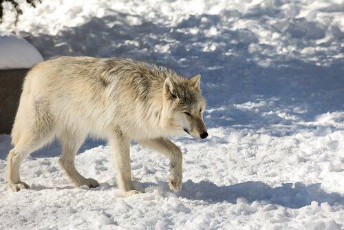 Lupo dell'Alaska