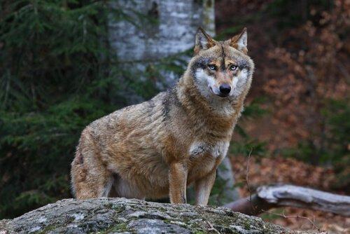 lupo su una roccia nel bosco