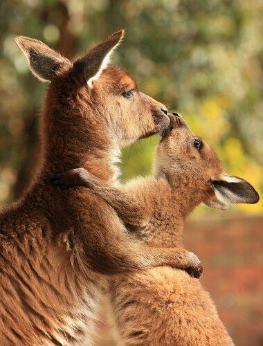 Mamma e cucciolo di canguro