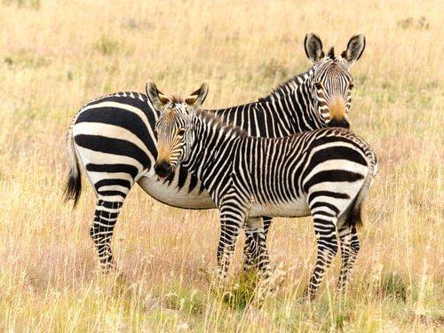 Mamma zebra con puledro
