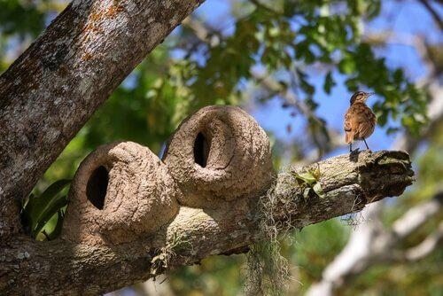 Due nidi di uccello fornaio