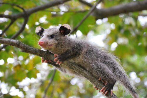 Alla scoperta degli opossum!