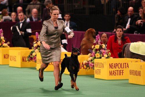 Westminster Kennel Club, il concorso di bellezza per cani più famoso