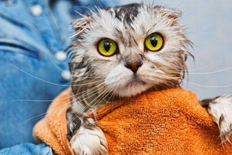 Padrone ha appena lavato il gatto