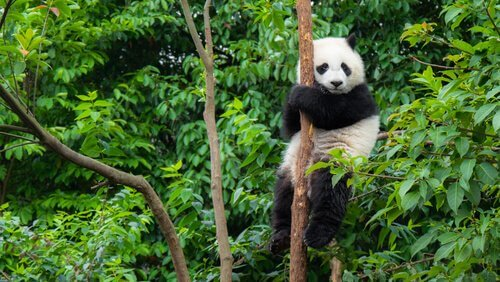 Panda gigante sull'albero