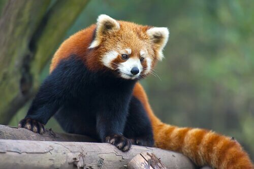 Panda minore su sasso
