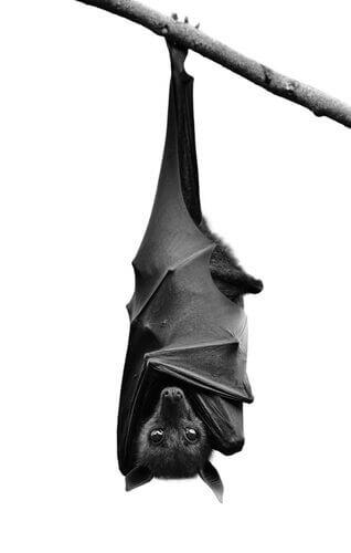 Pipistrello penzola da ramo