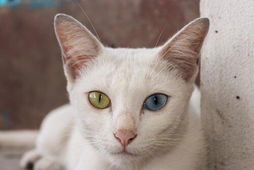 primo piano del gatto Khao manee